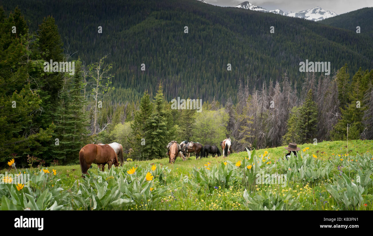 Cayuse horses grazing in an alpine meadow full of balsam root flowers and lupines in the South Chicotin Mountain - Stock Image