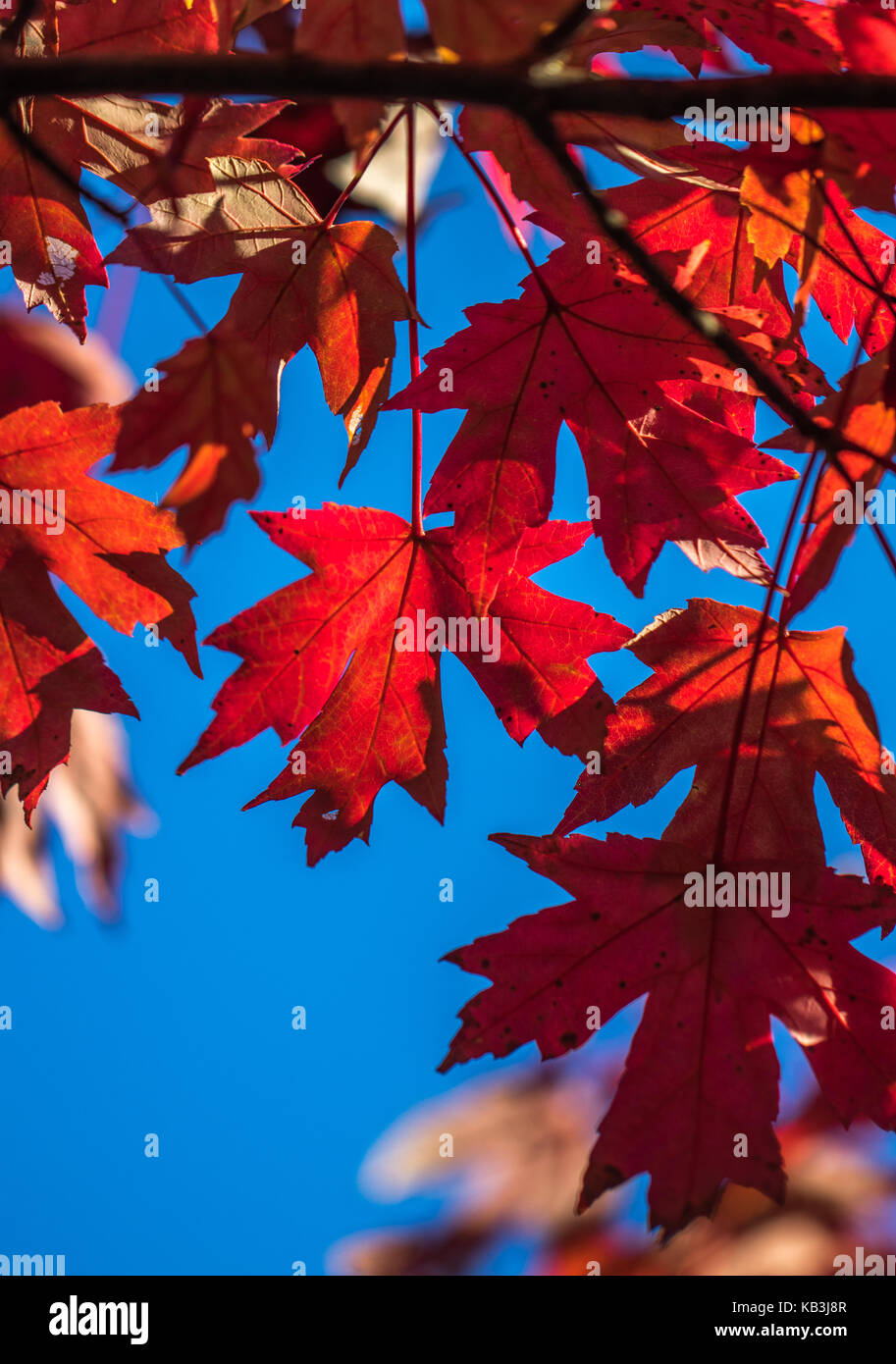 Vertical photo of red fall maple leaves against a blue sky - Stock Image