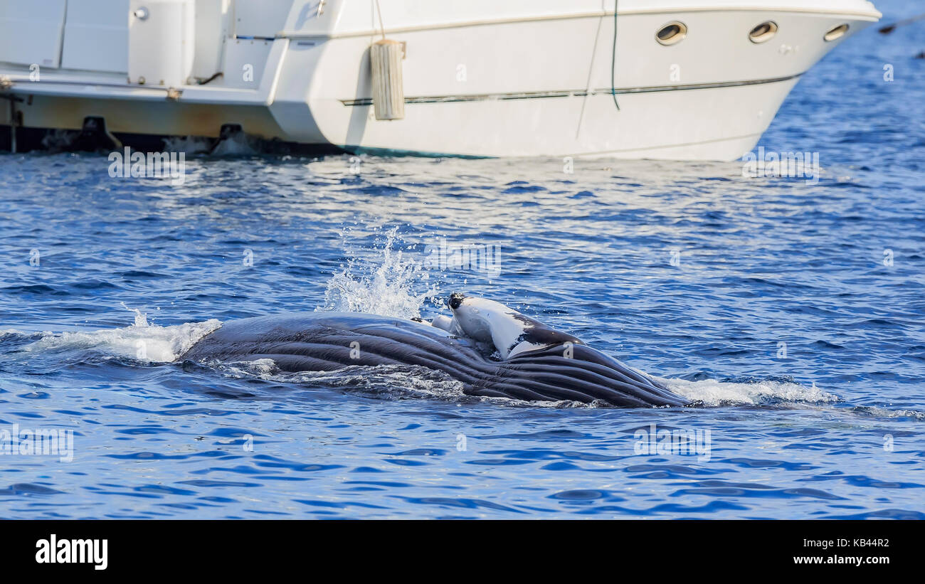 Humpback Whale watching in Los Angeles - Stock Image