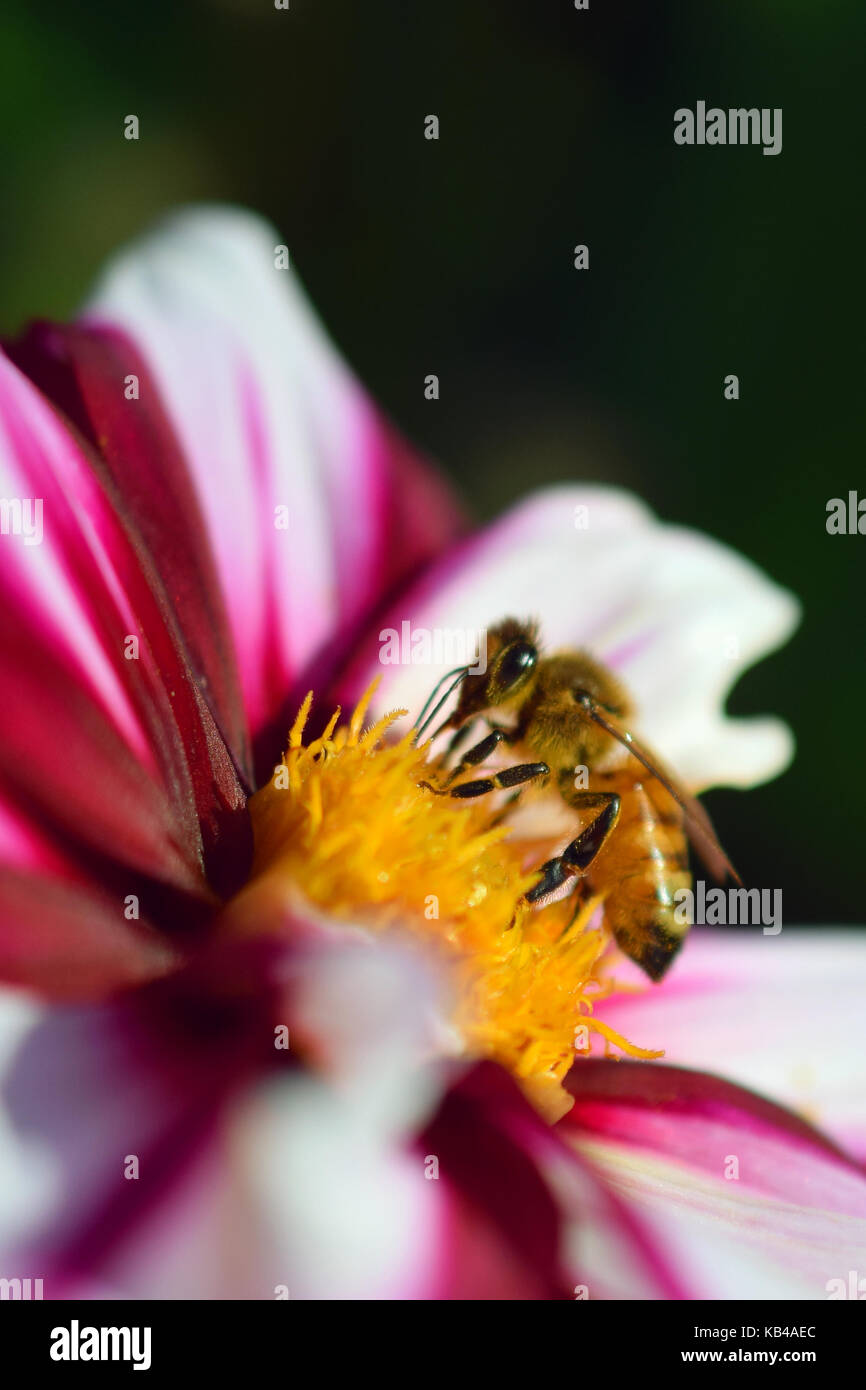 Honey bee (Apis mellifera) on white red dahlia. Vertical close up image. - Stock Image