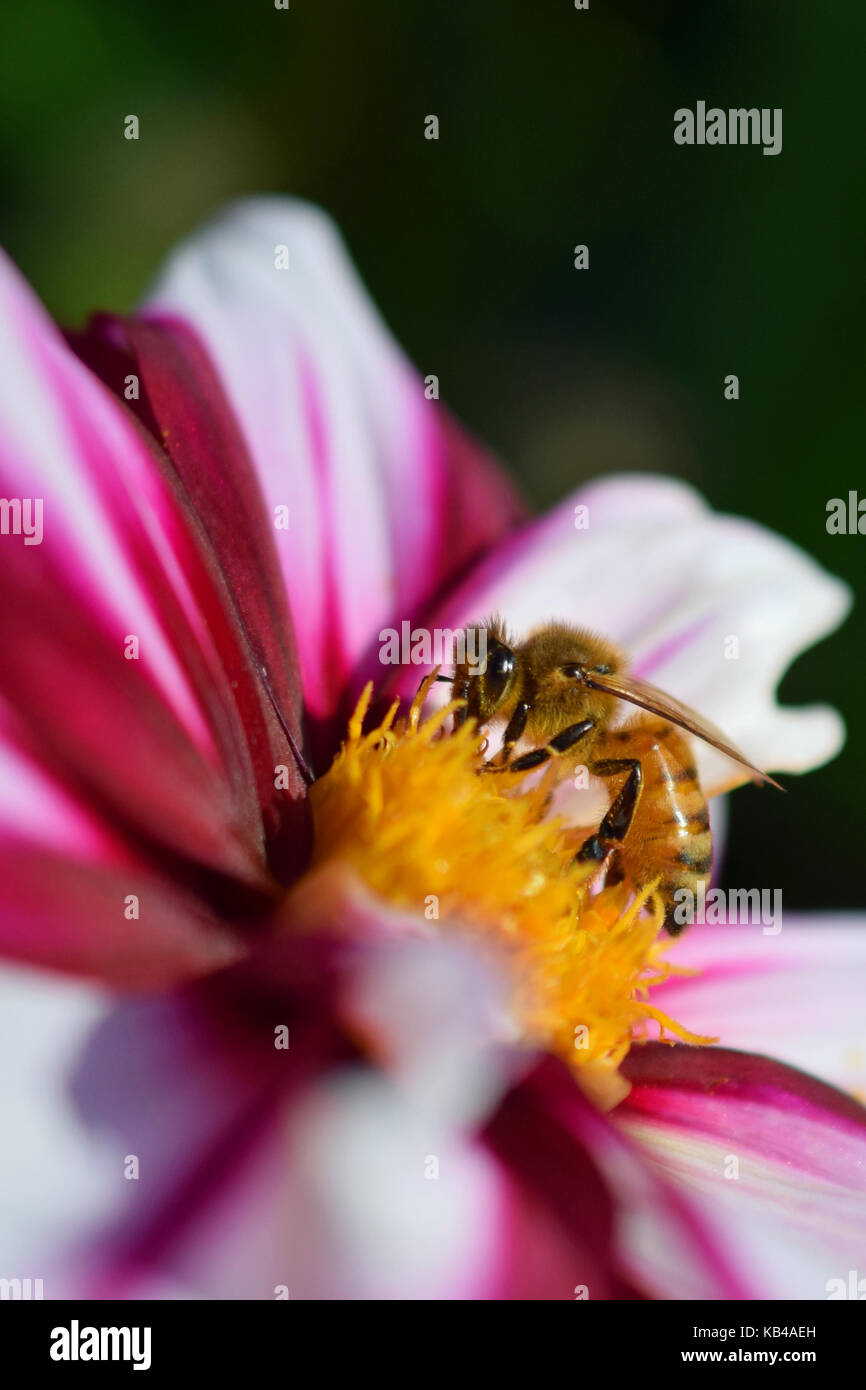 Honey bee (Apis mellifera) on white red dahlia. Vertical close up image. Stock Photo