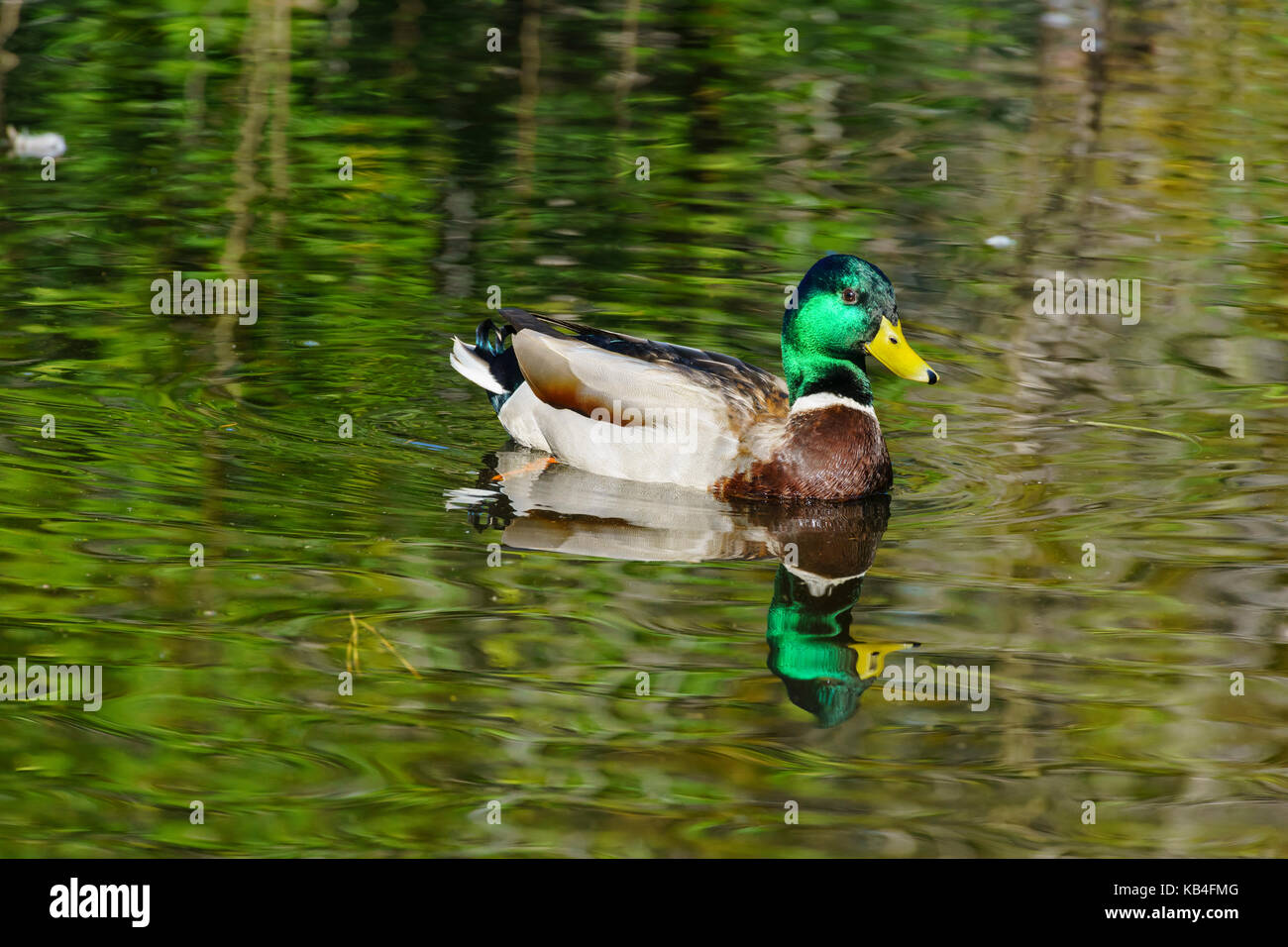 Mallard Duck swimming in a pond with beautiful reflection Stock Photo