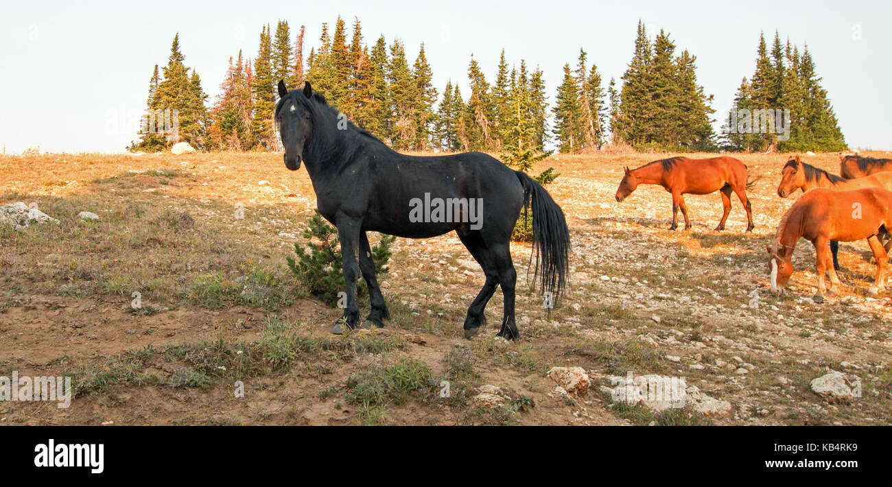 Black Stallion Wild Horse Mustang With His Small Band Of Mares In The Stock Photo Alamy