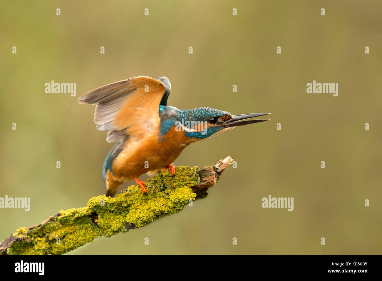 Adult Kingfisher (Alcedo atthis) displaying aggressive dominance behaviour to maintain territory whilst perched - Stock Image