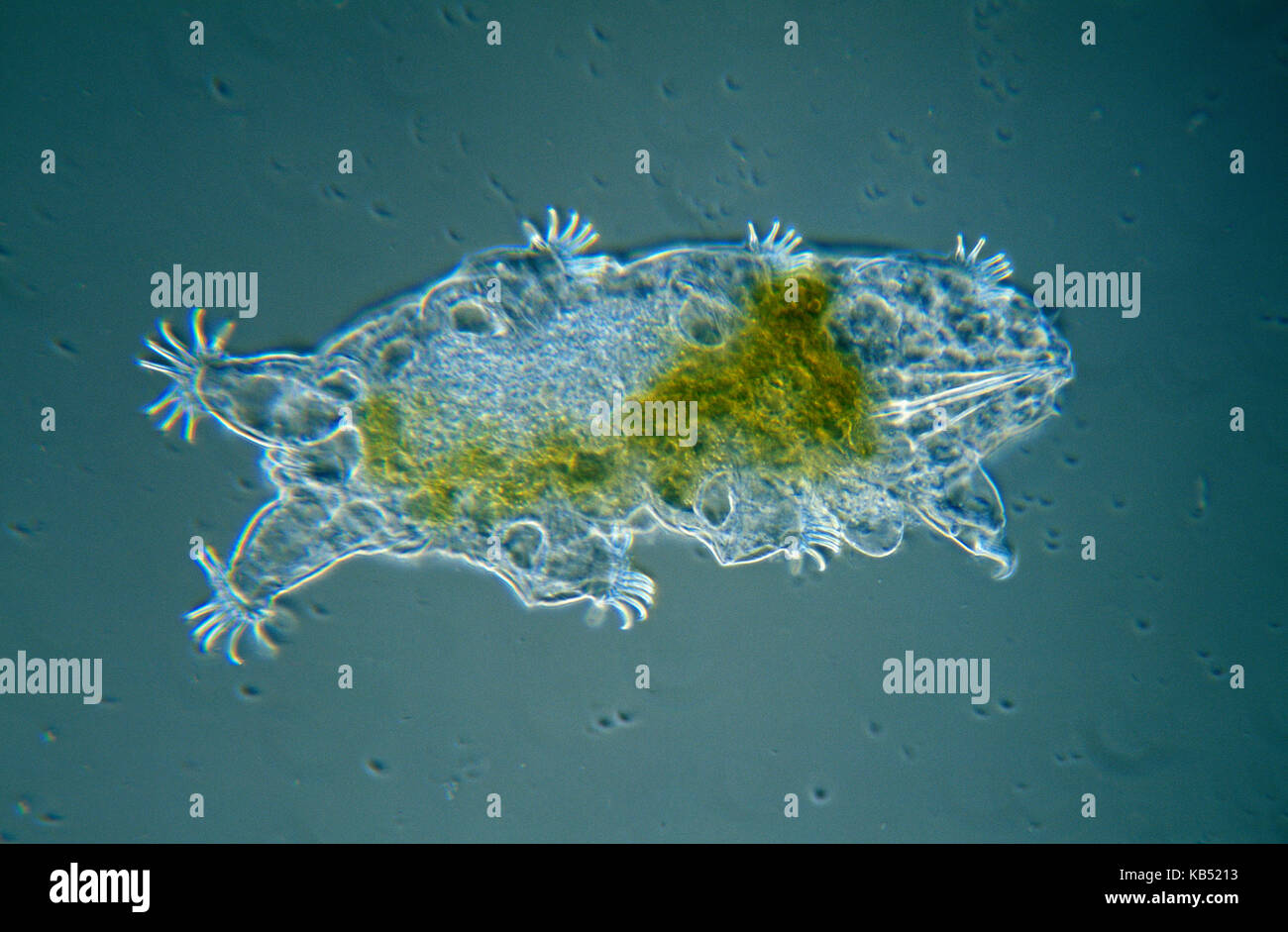 Tardigrade (Echiniscoides sigismundi) microscopic image, animal is less than one mm in length, can enter cryptobiosis - Stock Image