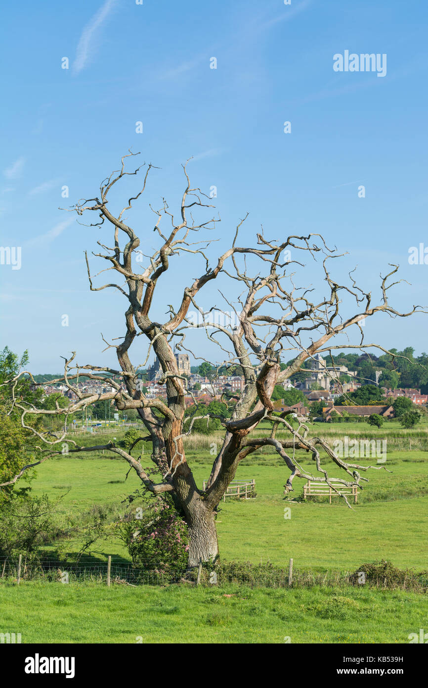 Dead leafless tree in Autumn in a field in the UK. - Stock Image