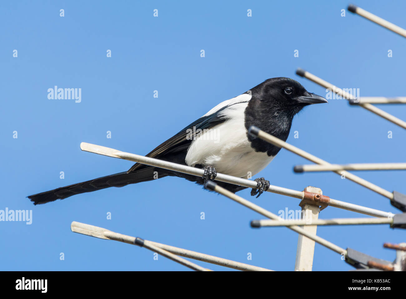 Eurasian Magpie bird (Pica pica) perched on a TV aerial in West Sussex, England, UK. - Stock Image
