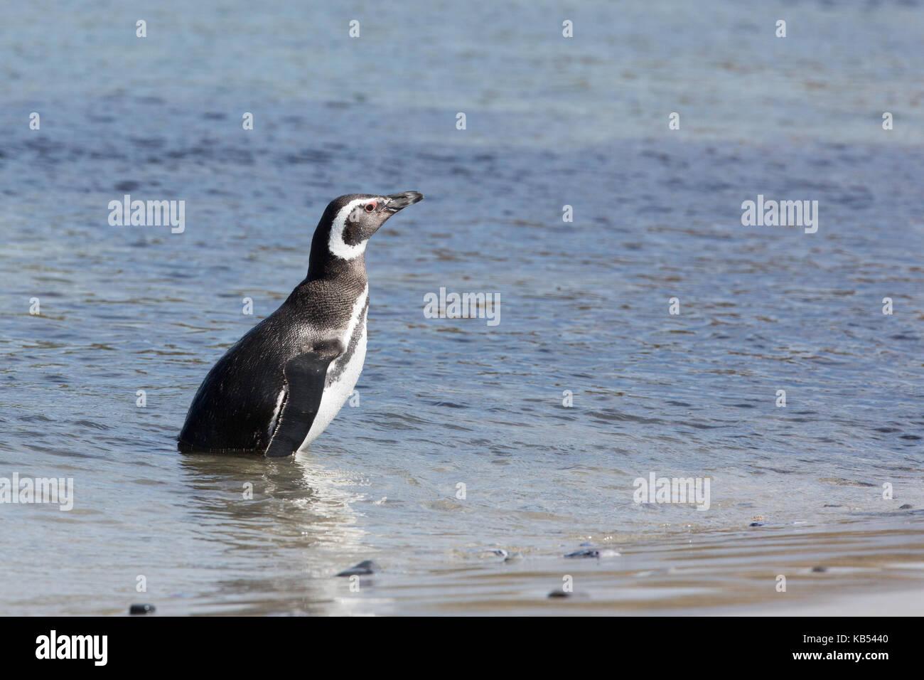 Magellanic Penguin (Spheniscus magellanicus) in sea near breeding colony, Falkland Islands - Stock Image