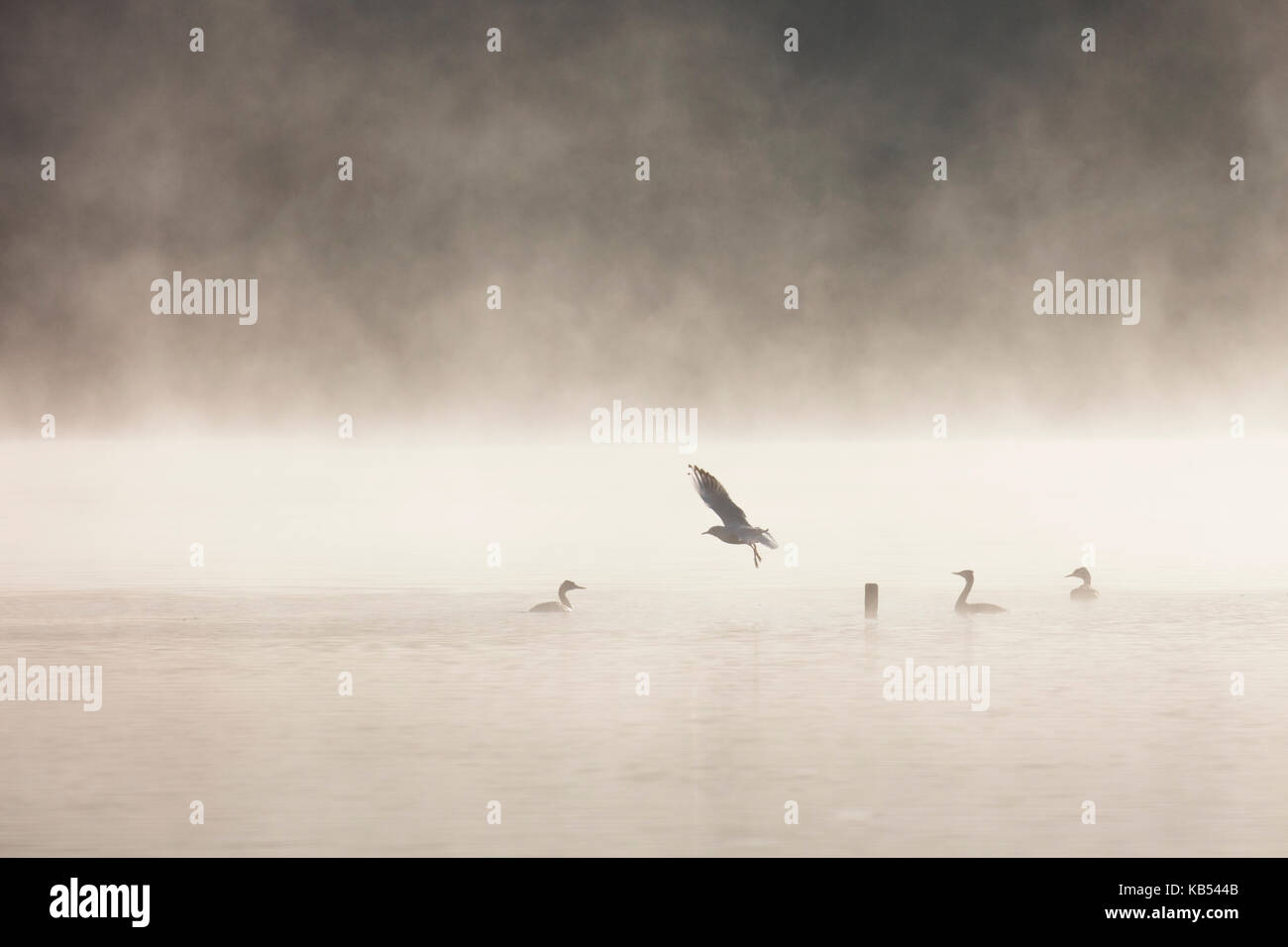 A black-headed gull (Larus ridibundus) leaves its perch on a post in a misty lake when approached by great crested - Stock Image