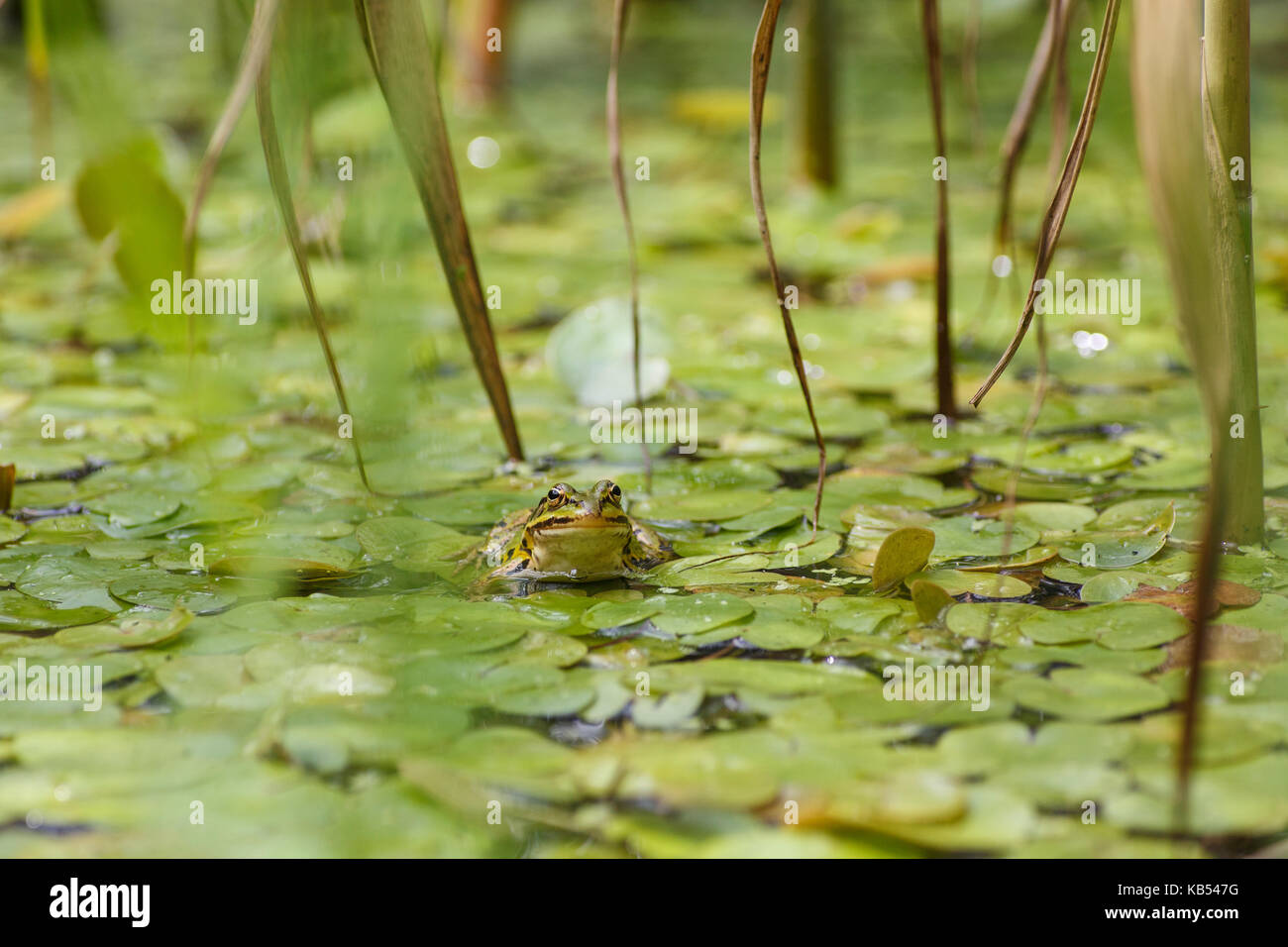 One unidentified species of Green Frogs (Pelophylax) perched among leaves of an unidentified plant in a puddle, - Stock Image