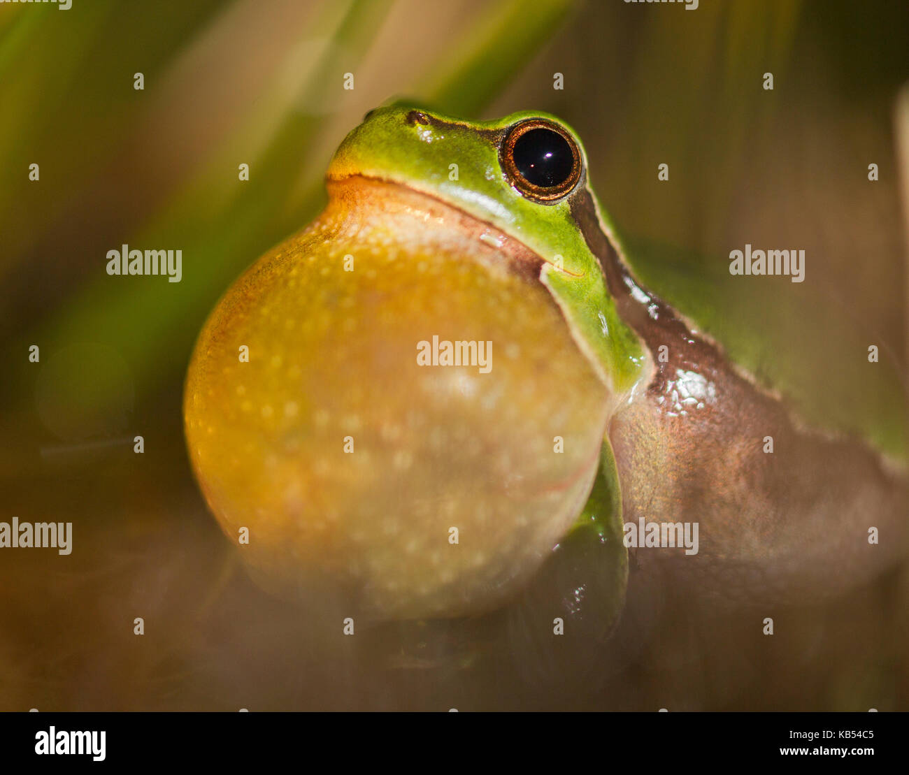European Tree Frog (Hyla arborea) portrait, croaking, The Netherlands - Stock Image