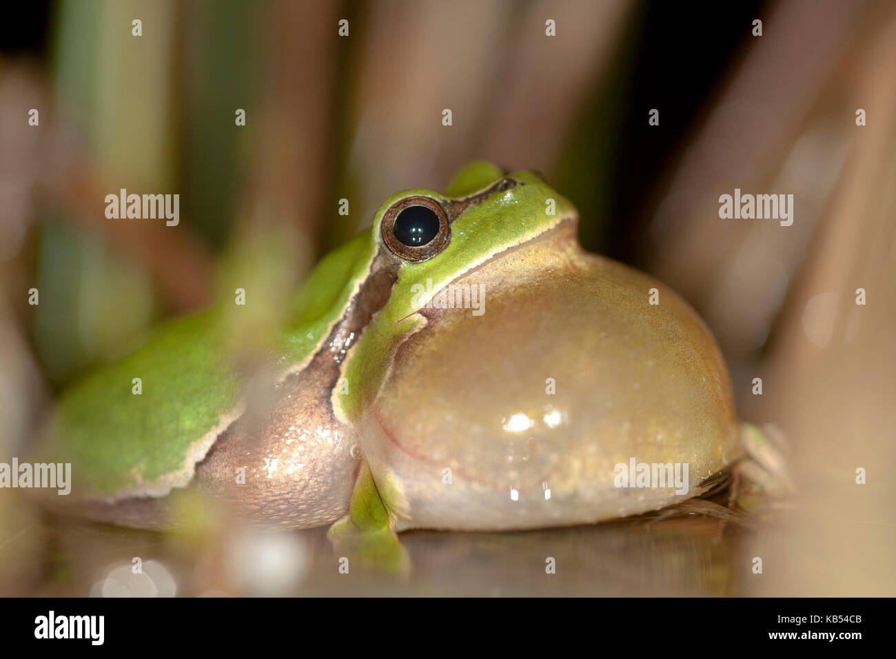 European Tree Frog (Hyla arborea) croaking in shallow water, The Netherlands - Stock Image
