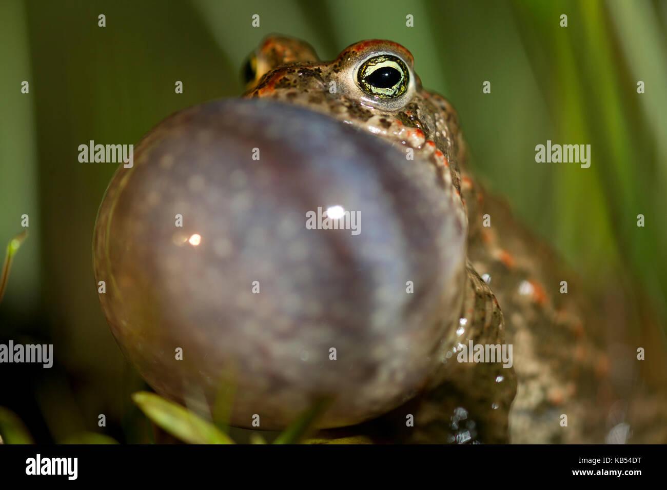 Natterjack Toad (Epidalea calamita) portrait, croaking, The Netherlands - Stock Image
