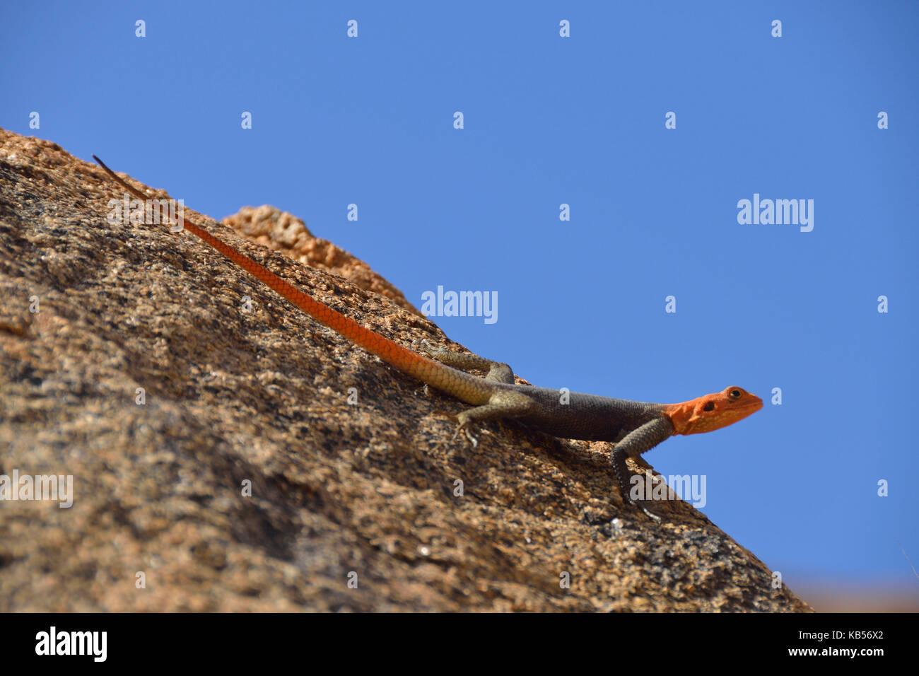 Namibia, Erongo, Damaraland, Brandberg, Namibian Rock Agama (Agama planiceps) - Stock Image