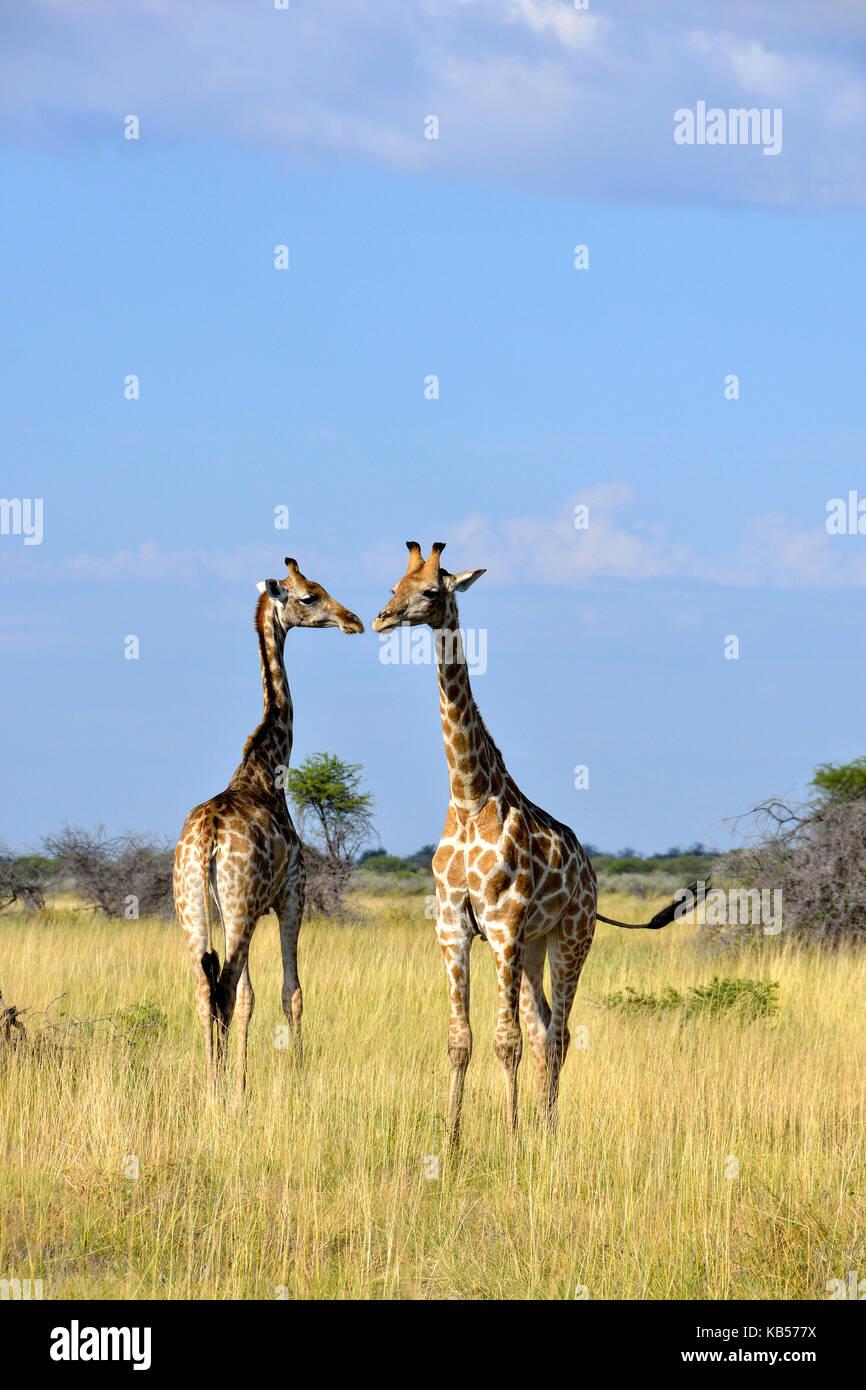 Namibia, Kunene, Etosha National Park, giraffe (Camelopardus) - Stock Image