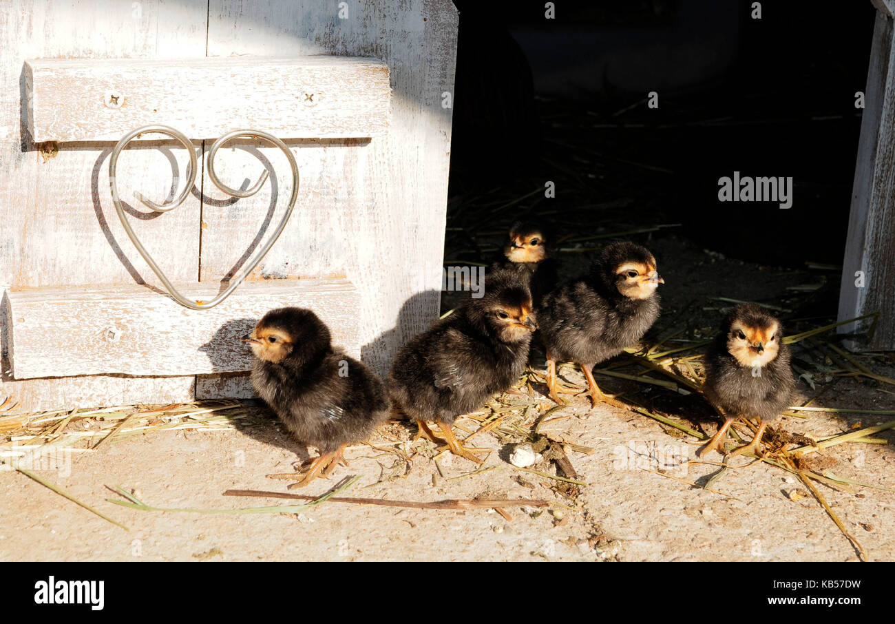 group of chickss of Barbu d'Anvers in front of stable in shabby chic, white wooden wall with heart in door - Stock Image