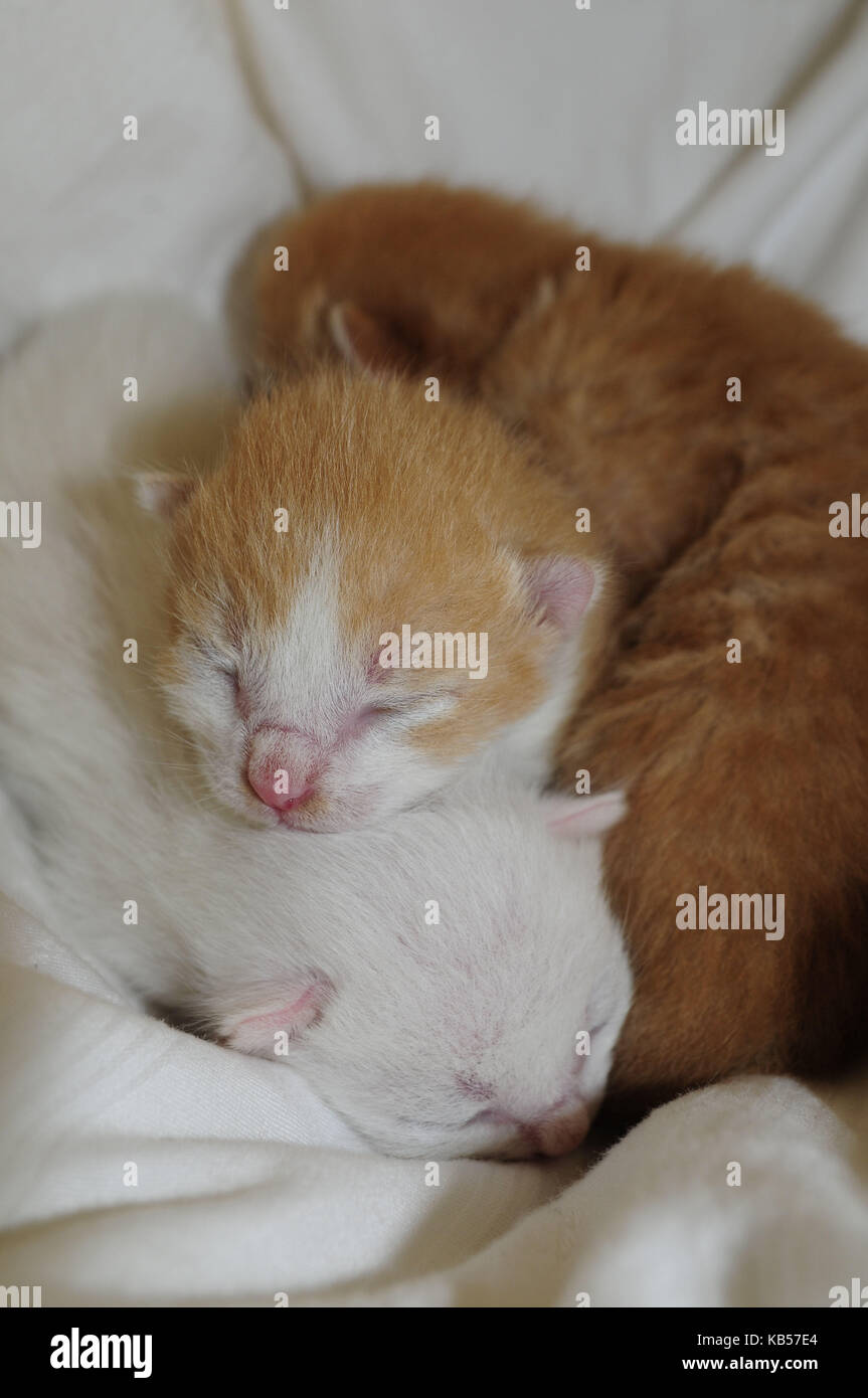 Three days old kitten with closed eyes in whelping box Stock Photo