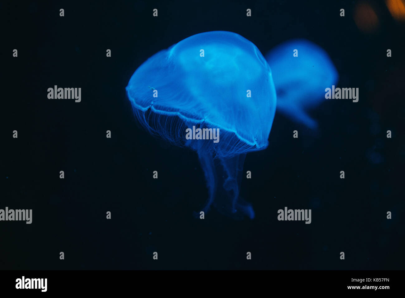 Blue jellyfish under water, close-up - Stock Image