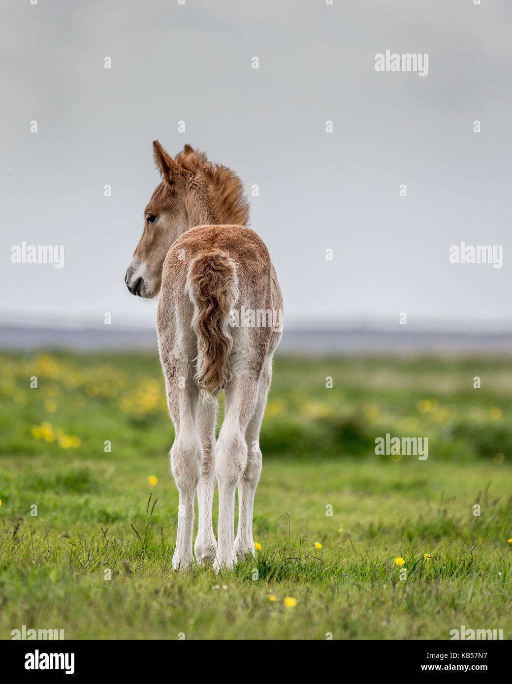New born foal, Iceland Icelandic pure-bred horses, Iceland - Stock Image