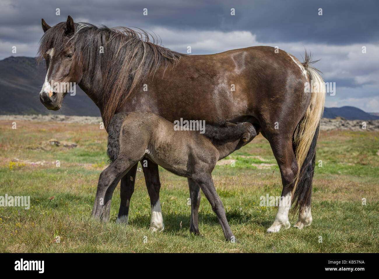 Mare and Foal, Iceland Icelandic pure-bred foal nursing. - Stock Image