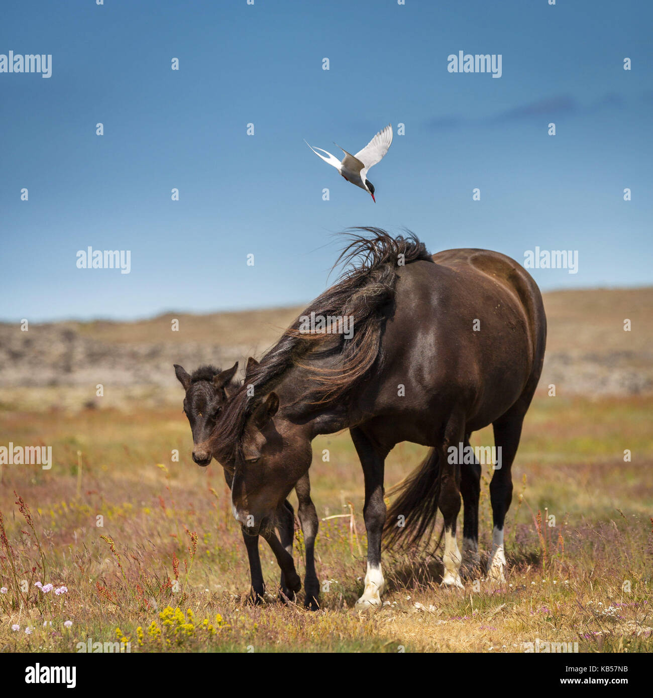 Arctic Tern attacking Mare with her foal, Iceland Icelandic pure-bred horses, Iceland - Stock Image