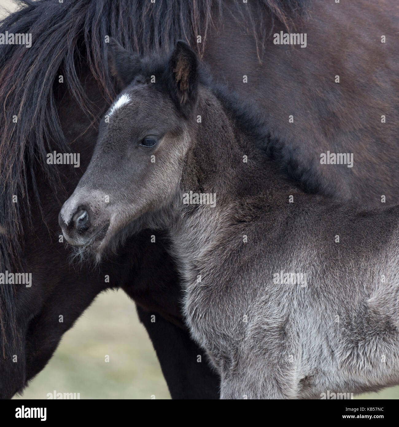 Newborn foal with horse, Iceland Icelandic pure-bred horses, Iceland Stock Photo