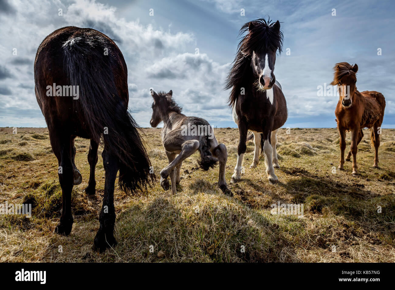 Newborn foal taking his first steps, Iceland Iceland pure-bred horse. - Stock Image