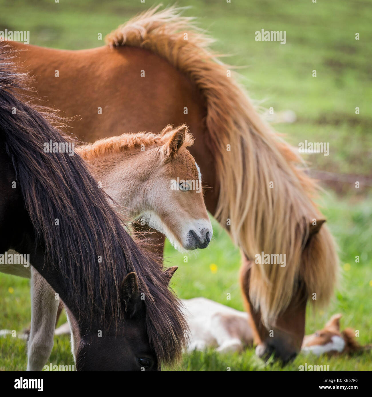 Mare and new born foal, Iceland Icelandic pure-bred horses, Iceland - Stock Image