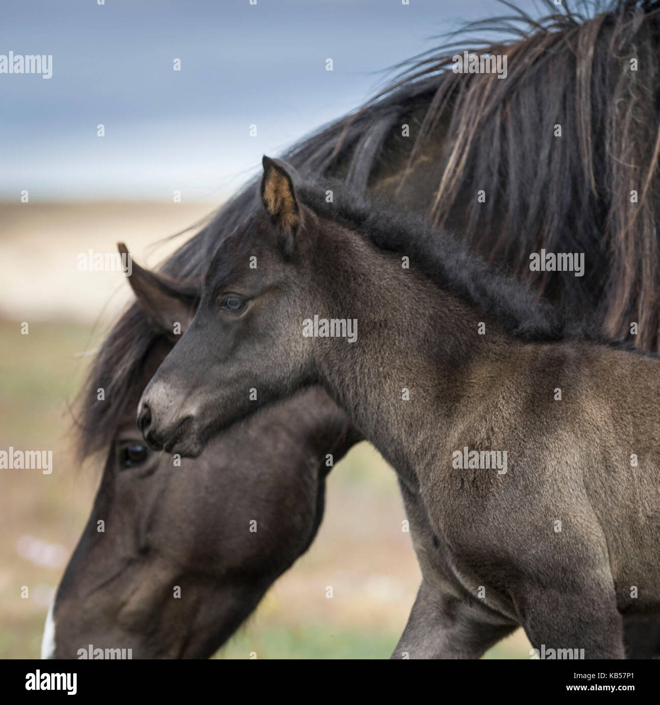 Mare and Foal, Iceland Icelandic pure-bred horses, Iceland - Stock Image