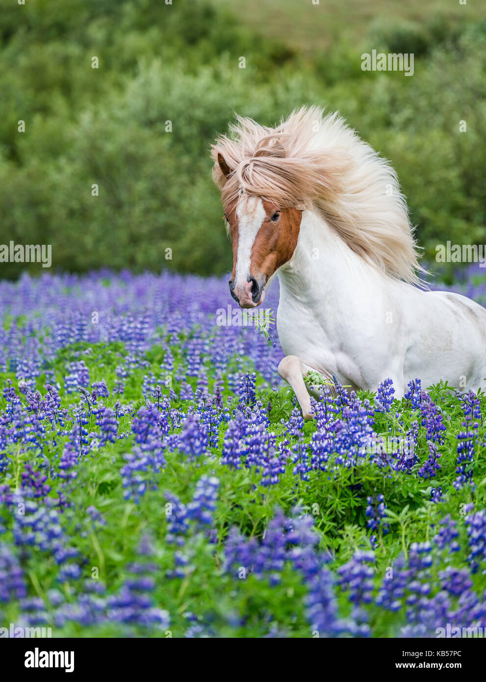 Horse running by lupines, Purebred Icelandic horse in the summertime with blooming lupines, Iceland - Stock Image