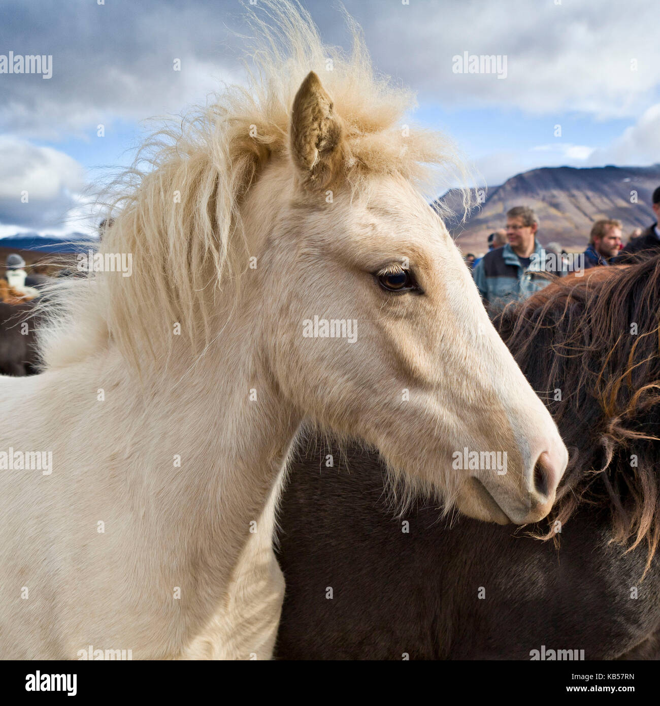 Annual Horse Round Up-Laufskalarett, Skagafjordur, Iceland Farmers keep up a long tradition of letting their horses - Stock Image
