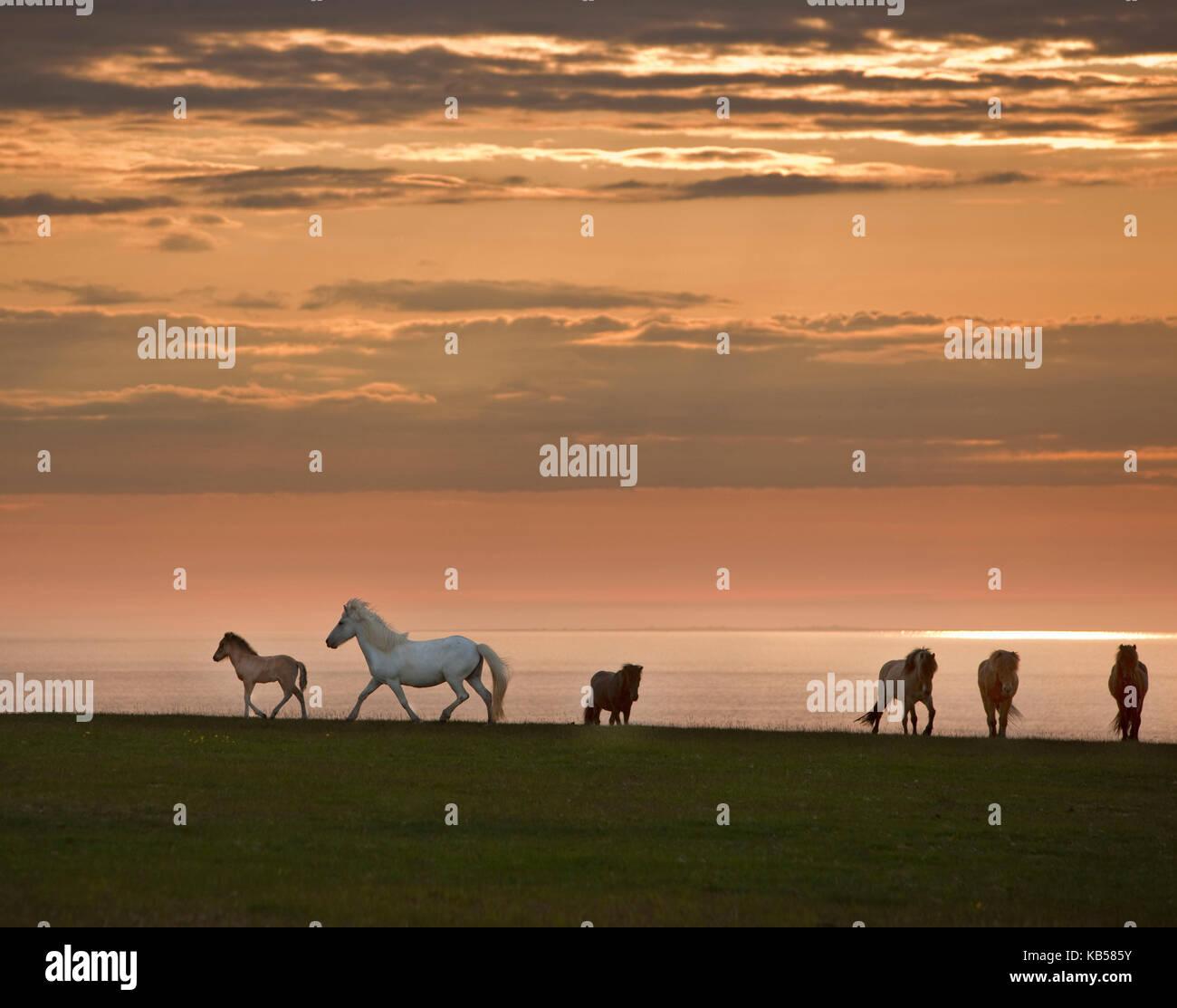 Icelandic Horses Midnight Sun, Iceland - Stock Image