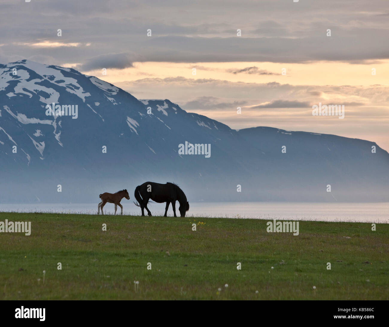 Iceland Mare and Foal, Midnight Sun, Iceland - Stock Image