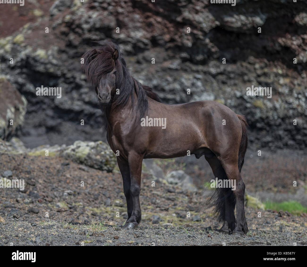 Icelandic Stallion, Iceland - Stock Image