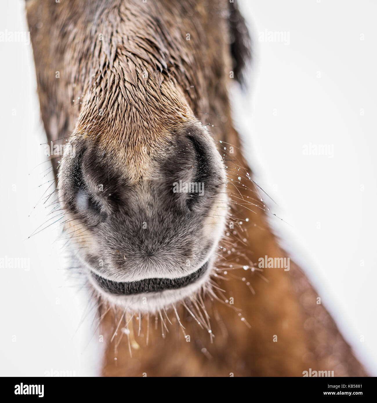 Wet Icelandic horse outside in a snowstorm, Iceland - Stock Image