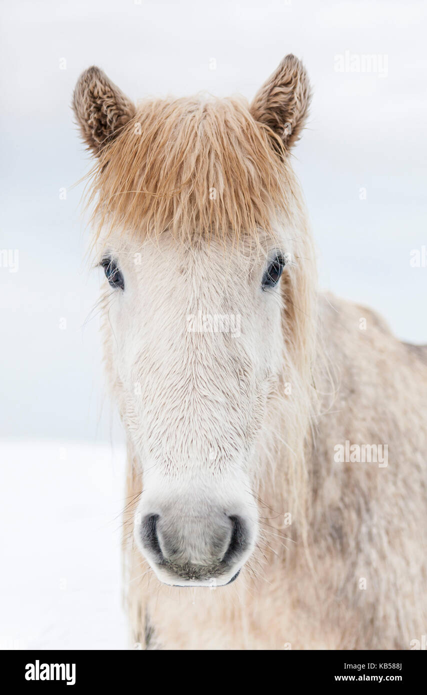 Portrait Icelandic Horse, Iceland The Icelandic horse is a breed developed in Iceland with many unique qualities. - Stock Image