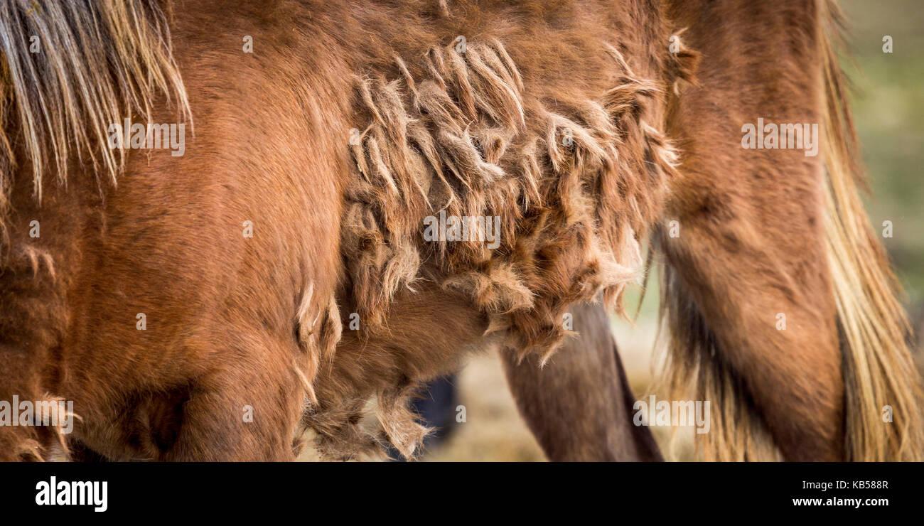 Winter coat of Icelandic Horse, Iceland - Stock Image