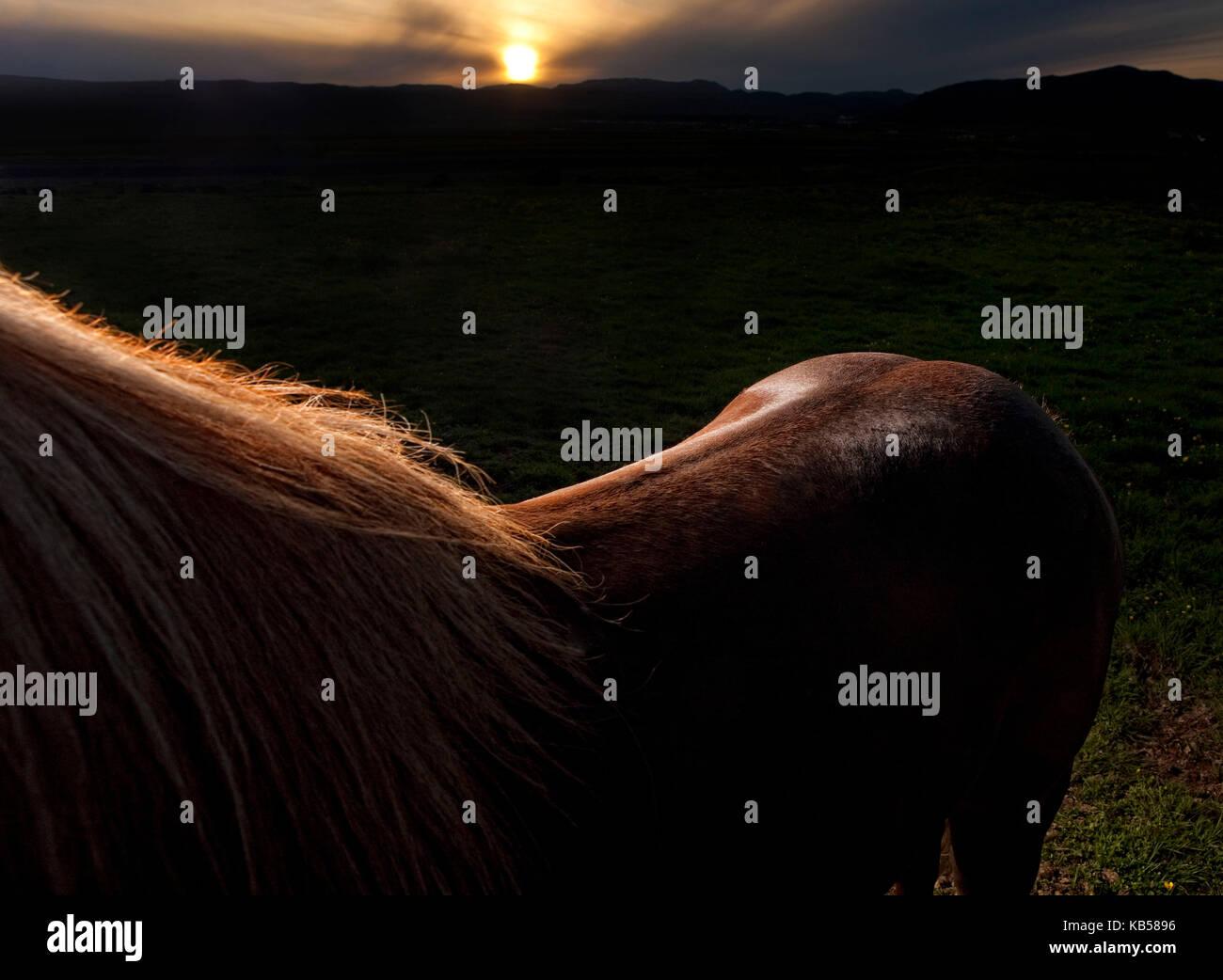Rim light on brown Icelandic Horse, Iceland - Stock Image