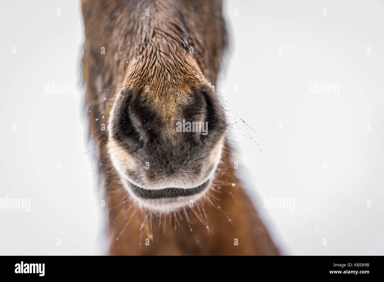 Icelandic Horse in a snowstorm, Iceland - Stock Image
