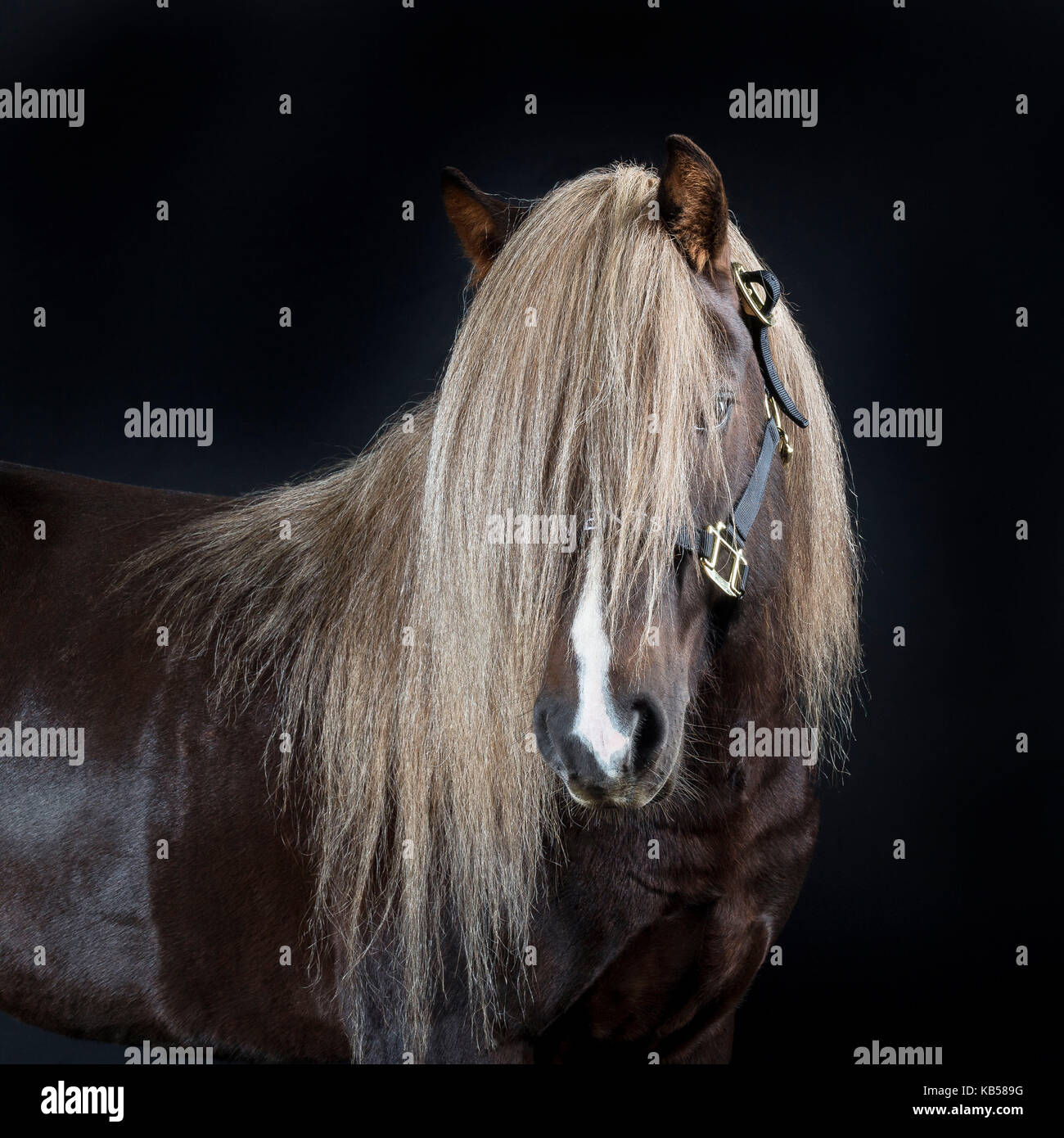Portrait of Icelandic Horse, Iceland The Icelandic horse is a purebred with various unique qualities. In Iceland - Stock Image