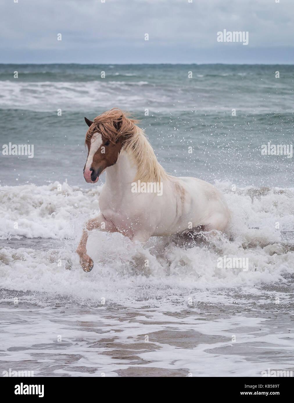 Icelandic horse in the sea, Longufjorur Beach, Snaefellsnes Peninsula, Iceland - Stock Image