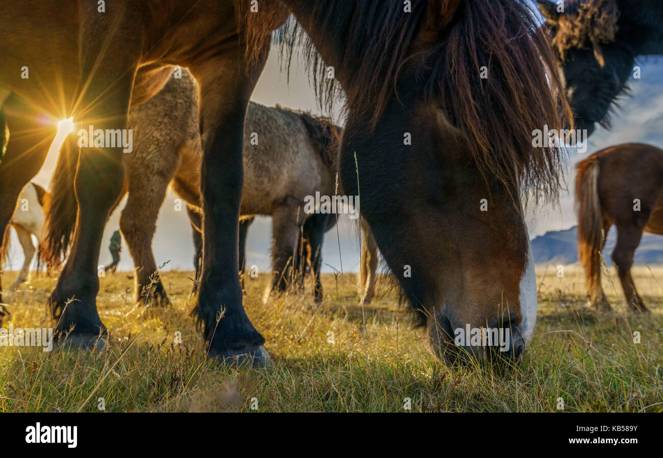 Icelandic Horses Grazing, Iceland Stock Photo