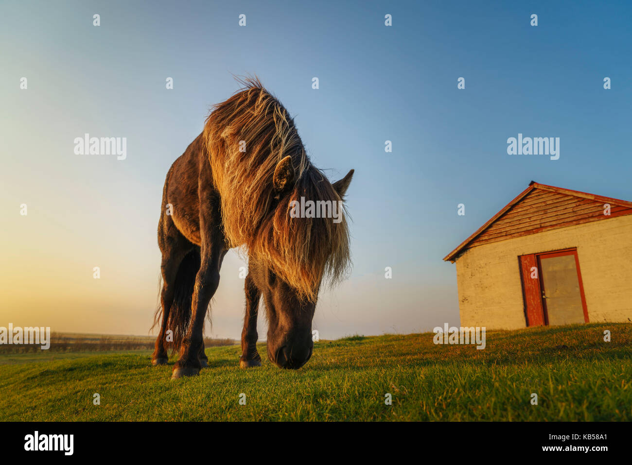 Icelandic Horse Grazing, Iceland Stock Photo