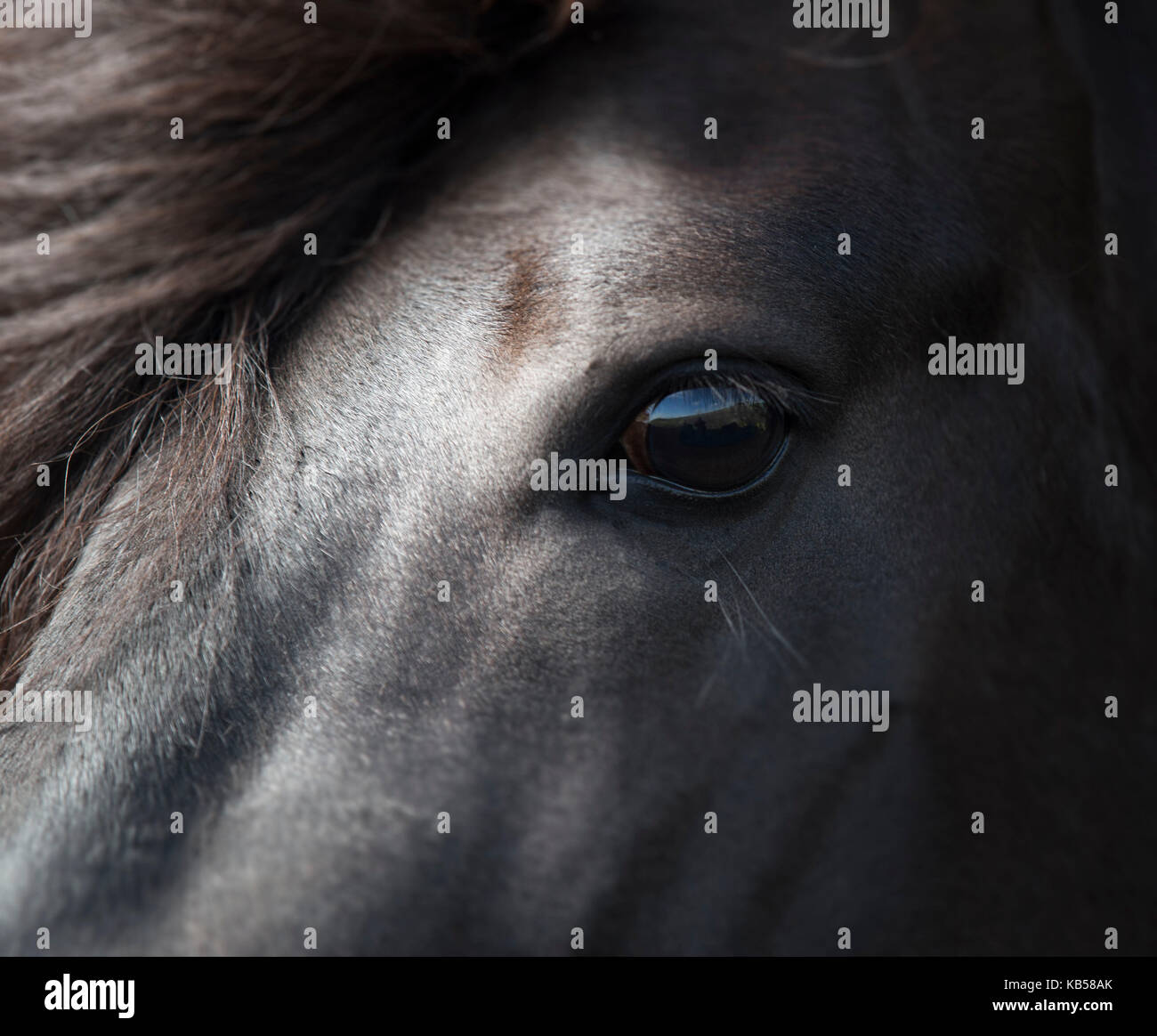 Icelandic Black Stallion, Iceland - Stock Image