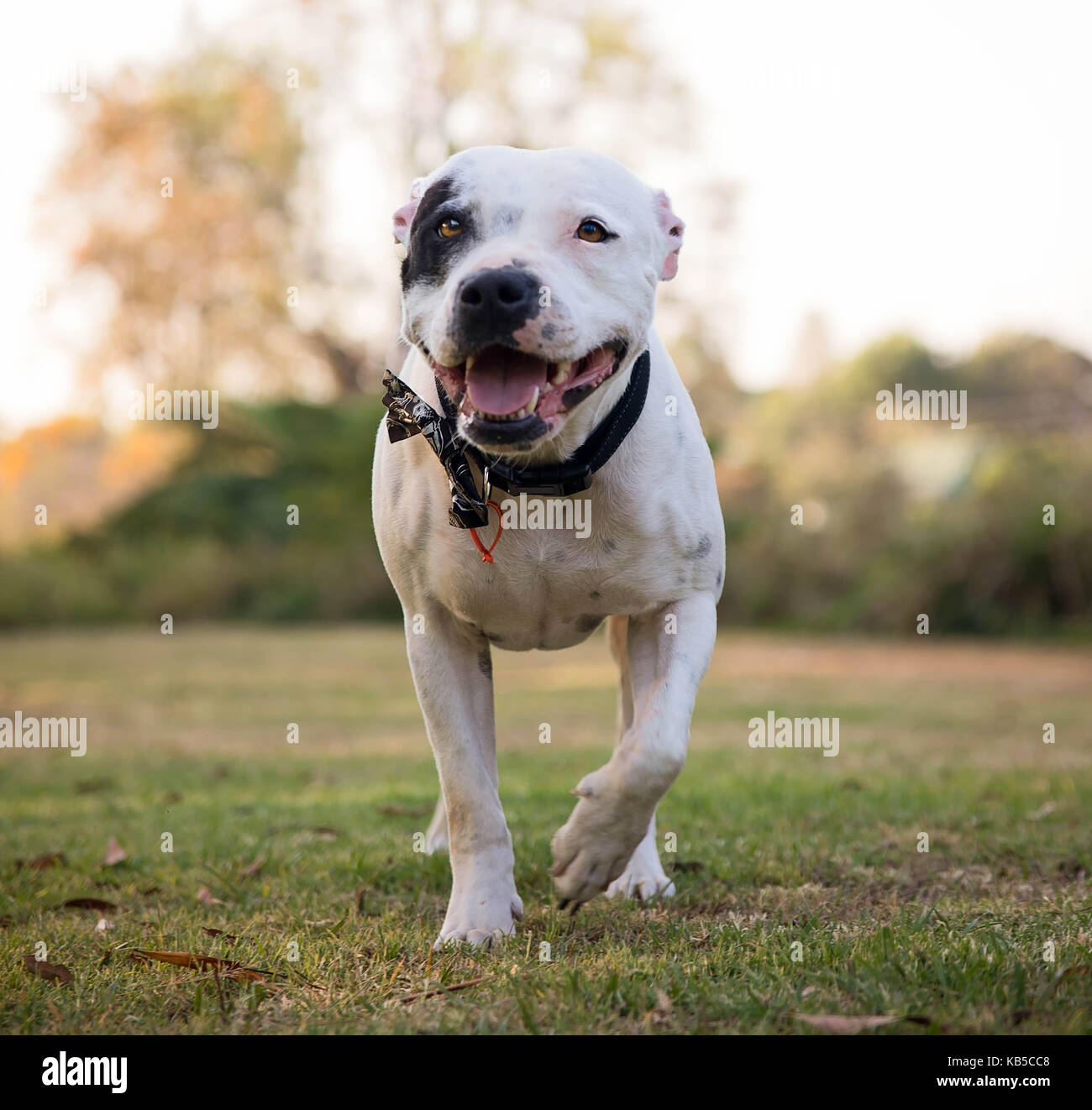 Staffordshire Bull Terrier in outdoor setting - Stock Image