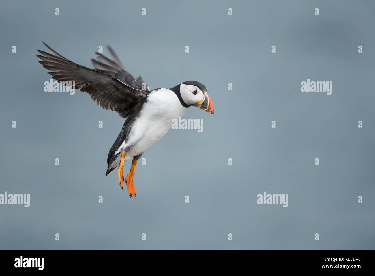 Puffin with cloudy sky flying over Inner Farne, The Farne Islands, Northumberland, England, United Kingdom, Europe Stock Photo
