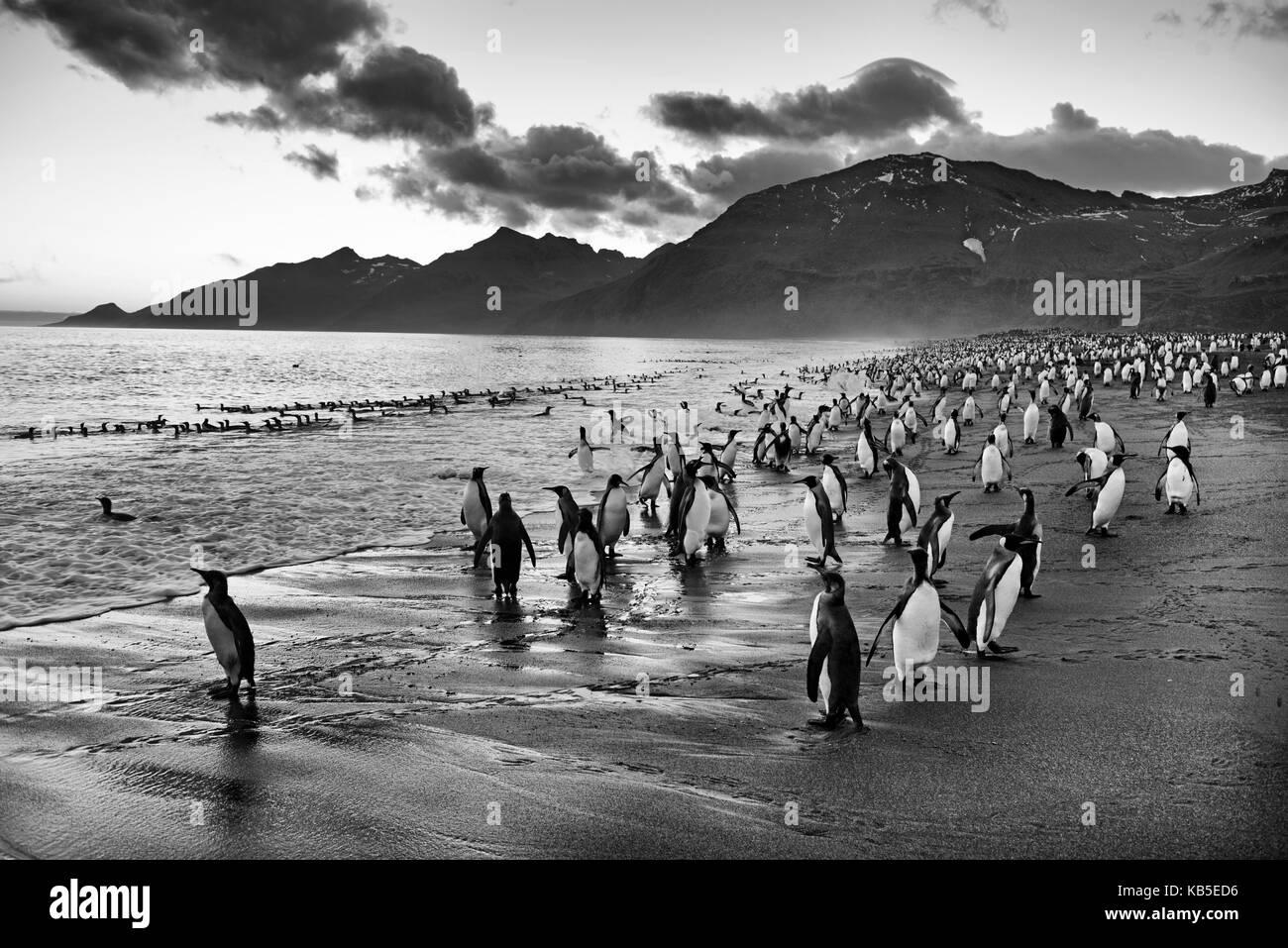 King Penguin Aptenodytes patagonicus St Andrews Bay South Georgia January - Stock Image