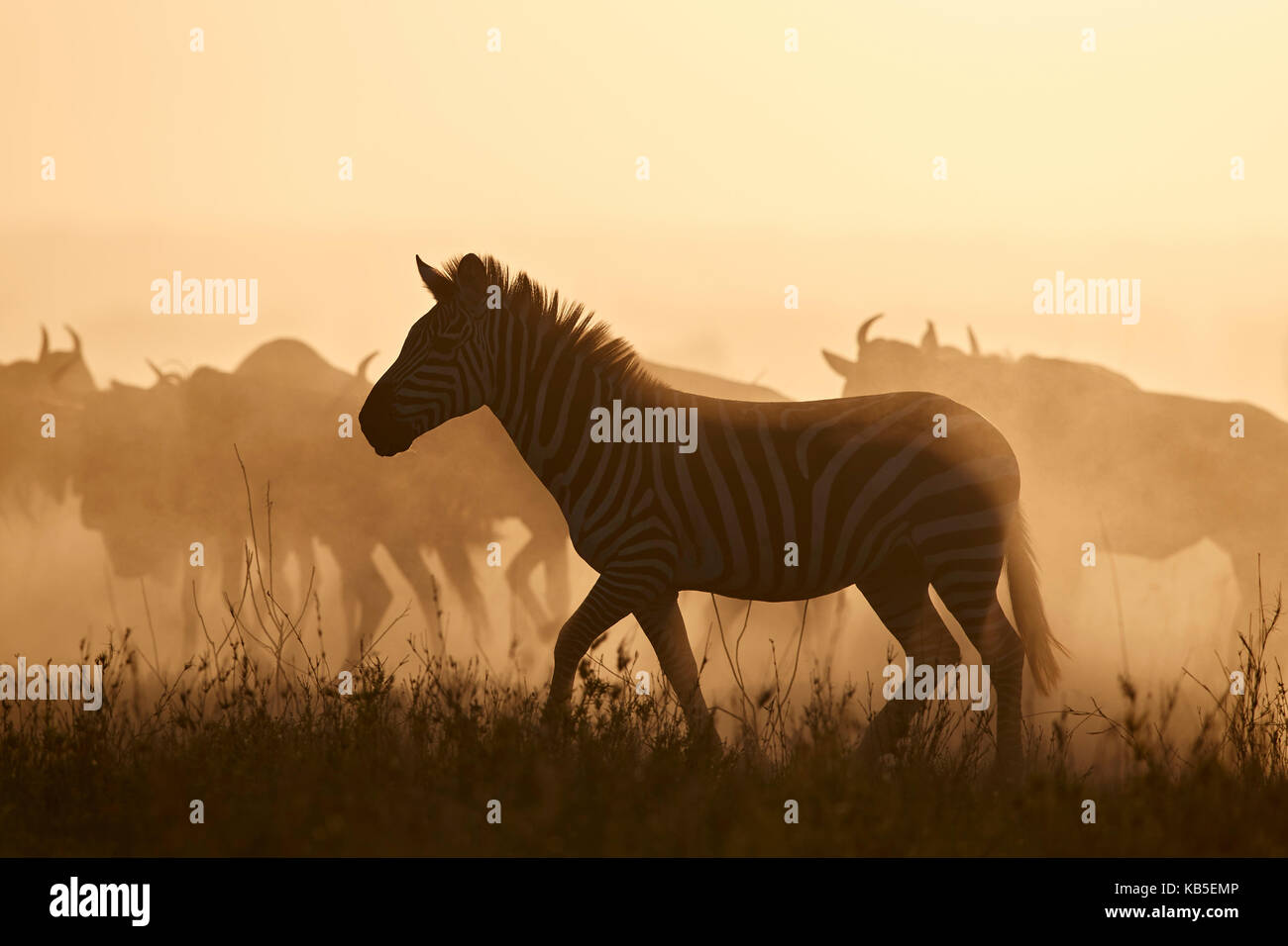 The Migration, Common Zebra (Equus burchelli) and Blue Wildebeest (Connochaetes taurinus), Serengeti National Park, - Stock Image