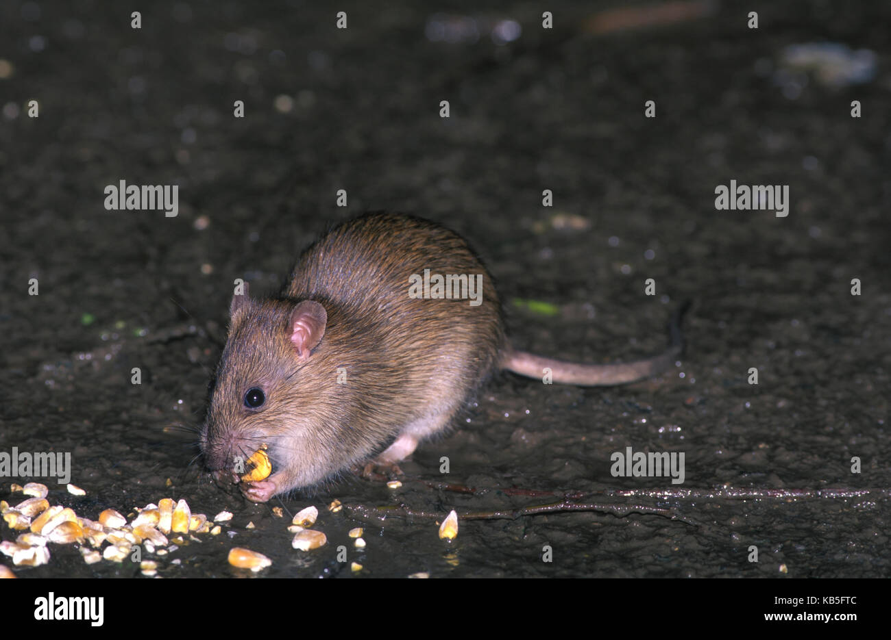 Brown rat, Rattus norvegicus. Eating corn. In the United Kingdom, brown rats are an important reservoir for Coxiella - Stock Image