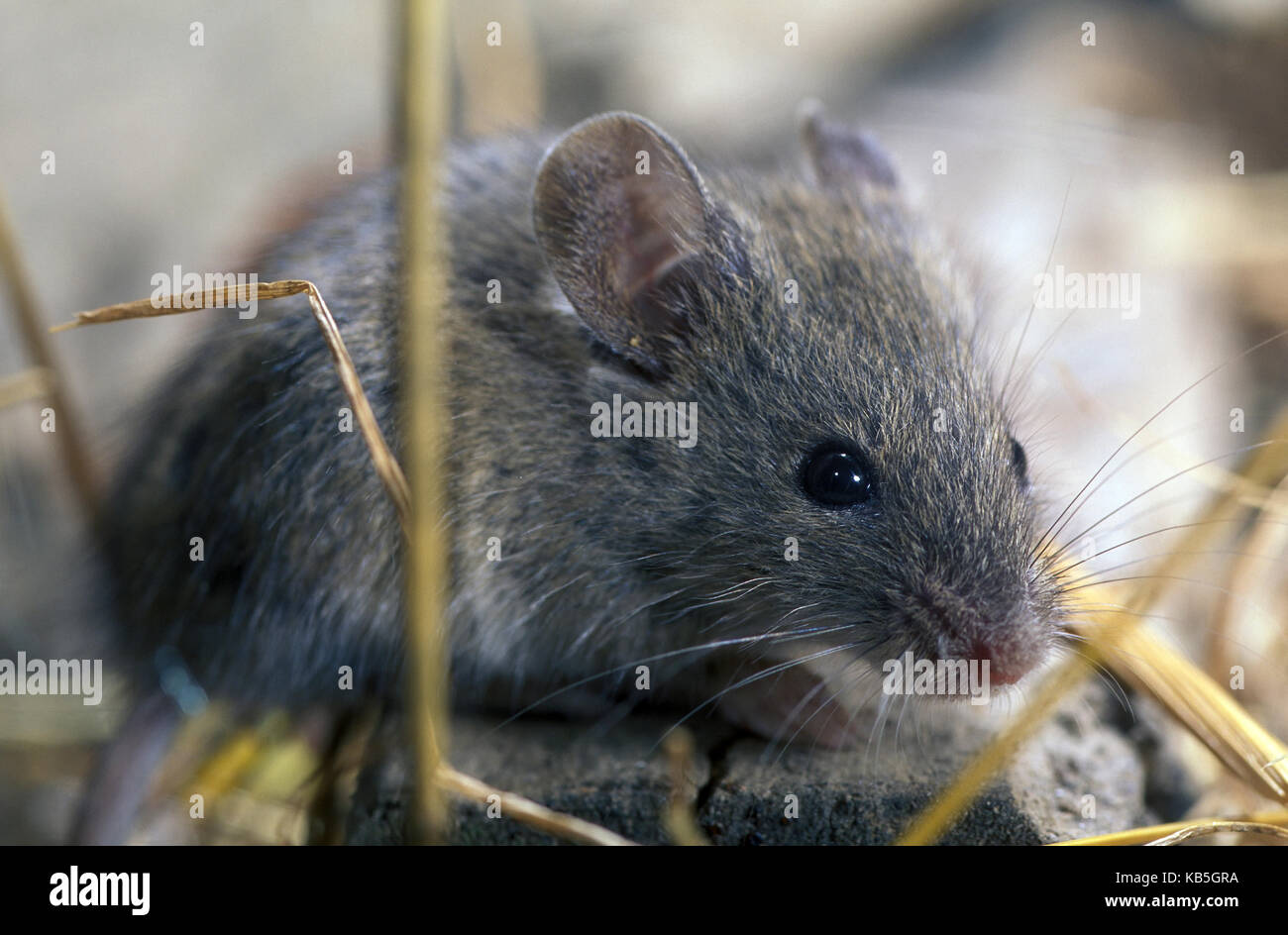 House mouse, Mus domesticus. Looking for food inside barn. Portugal - Stock Image
